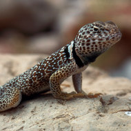 Grand Canyon Collared Lizard from the side.