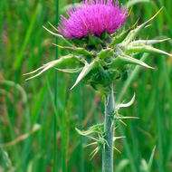 Thistle close-up.