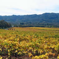 A Fall vineyard scene in the heart of the Sonoma Valley, looking toward Sonoma Mountain.