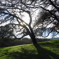 Oak trees in afternoon Fall sunshine at the Sonoma Valley Regional Park.