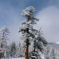 Trees flocked with snow in the Sierra Nevada Mountains at the Royal Gorge Cross Country Ski Resort.
