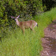 A Mule Deer on the Sonoma Overlook Trail in Spring.