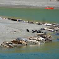 Harbor seals at Goat Rock Beach, where the Russian River meets the Pacific Ocean in Sonoma County, California.