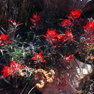 Indian Paintbrush in the Grand Canyon.