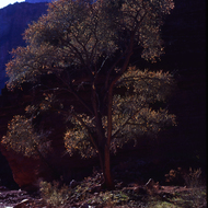 A cottonwood tree in a side canyon of the Grand Canyon.