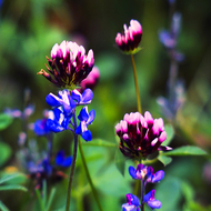Lupine and clover.
