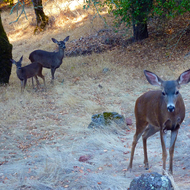 A deer family on the Sonoma Overlook Trail.