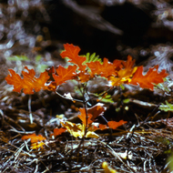 A tiny deciduous oak tree on the forest floor.
