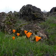 Flowering poppies on the Sonoma Overlook Trail in spring.
