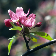 An apple blossom in Spring.