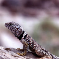 A Grand Canyon Collared Lizard sitting on a rock.