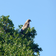A Red-Tailed Hawk surveying the landscape from the top of a tree.