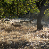 A deer on the Sonoma Overlook Trail.