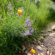 Lupine and California Poppies in bloom alongside the Sonoma Overlook Trail.