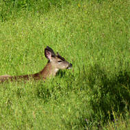 A deer resting in a meadow on the Sonoma Overlook Trail.