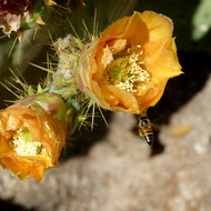 A bee coming in for a landing on a Prickly pear cactus flower.