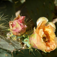 A bee inside a Prickly pear cactus flower.