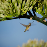 Hummingbird coming in for nectar.
