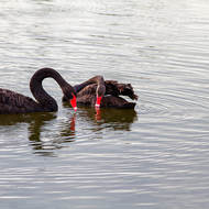 Black Swans: something looks interesting there.