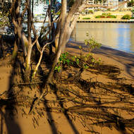 Early morning sun through the mangroves on the bank of the Brisbane River.