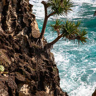 How do they do it? Pandanus trees hanging on to the face at the mouth of North Gorge.