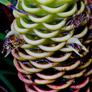 A spider waits on the flower of a beehive ginger plant, zingiber spectabile, for insects attracted by the sweet nectar.
