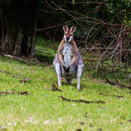 Male wallaby after action.