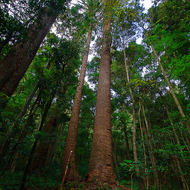 Bunya pines reaching high into the rainforest canopy.