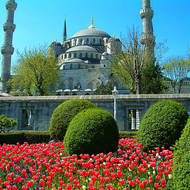 Bed of tulips in front of the Sultan Ahmet Mosque, the Blue mosque.