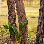 Prickly Pear Cactus, an invasive plant, along the fenceline.
