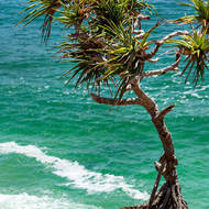 Wind and salt spray battered, a Pandanus pines, pedunculatus, stands over Winch Cove.