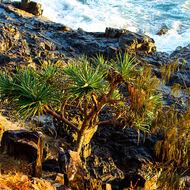 Dolphin Point at the western end of Winch Cove with the sunrise hitting a Pandanus Pine.