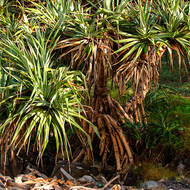 Proliferation of Pandanus Pines.