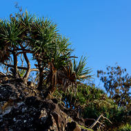 Pandanus Pines outlined against the blue sky at Hells Gates.