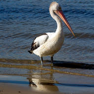 Reflected body; pelican on the Noosa River shore.