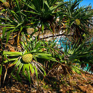 Pandanus Pines in fruit, on Blowhole point with Alexandria Bay in the background.