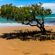 Mangrove tree on the shoreline, with protruding roots.