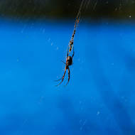Golden orb spider with food store, blue of the lake as backdrop.