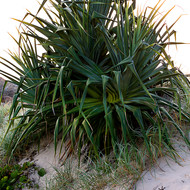 Small Pandanus Pine, pedunculatus, on the sand dunes, backlit by the early sun.