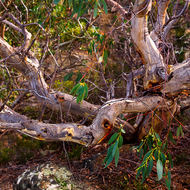 Bent and twisted eucalypt trees surviving in adverse conditions at Tasman Arch.