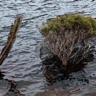 Tree, rooted under water, surviving well.