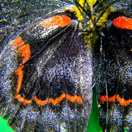 Underside of a Black Jezebel, delias nigrina, butterfly showing the scales on the wings.