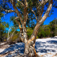 Trees with character, paperbark trees, melaleuca, may not provide a lot of shade but have appeal.