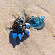 Art or reality; a piece of pumice stone with shellfish attached nestles beside a piece of blue jellyfish.