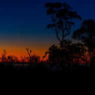 Eucalyptus trees and banksia silhouetted at sunset.
