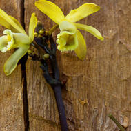 Flowers of a Black Bootlace Orchid, erythrorchis cassythoides.