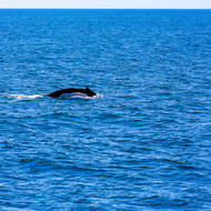 Humpback whale, orange patches on the white flank.