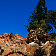 A Norfolk Island pine, araucaria heterophylla, stands, albeit a bit wind bent, on the point at South West Rocks.