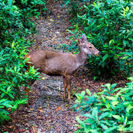 Deer crosses a forest trail.