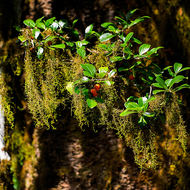 Red berries among hanging moss.